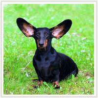 soins oreilles chien